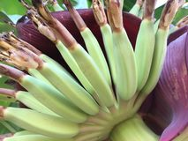 Banana, mentre ancora un piccolo bambino preso con il suo intestino immagine stock