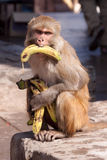 Banana-Monkey Stock Image