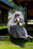 Banana Muncher Stock Image