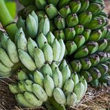 Banana, Musa acuminata. Banana, Musa acuminata `Kluai Nak` name Thailand Musa sapientum L Stock Photo