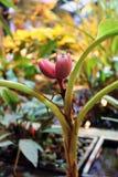 Banana Musa. Perennial herbaceous plants growing in the tropics Royalty Free Stock Photos