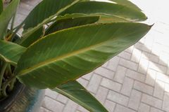 Banana Musa Leaf. Closeup of Banana Musa Leaf from a garden on a morning Royalty Free Stock Photography