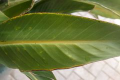 Banana Musa Leaf. Closeup of Banana Musa Leaf from a garden on a morning Stock Photo