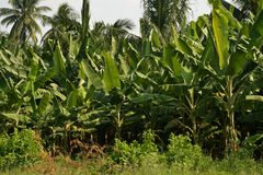 Banana or Musa, plantation near Hampi, Karnataka, India Royalty Free Stock Photo