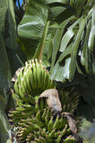 Banana Musa sp. Banana Musa.A banana is an edible fruit produced by several kinds of large herbaceous flowering plants in the genus Musa. The banana plant is Royalty Free Stock Photos