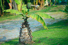 Banana. Musa banana is a species of wild banana native to Southeast Asia. It is the progenitor of modern edible bananas, along with Musa balbisiana.[3] First Royalty Free Stock Photos