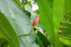 Banana (Musa spp.) flower and leaves. stock images