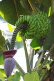 Banana na flor foto de stock