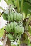 Banana na selva Imagem de Stock