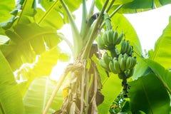 Banana non matura Immagine Stock Libera da Diritti