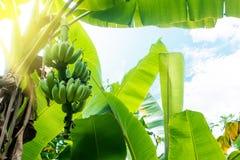 Banana non matura Immagine Stock