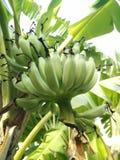 Banana nova verde Imagens de Stock Royalty Free