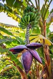 Banana okwitnięcie z bananami Fotografia Royalty Free