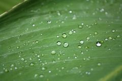 banana opadowa liść woda zdjęcia stock
