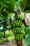 Banana orchard Royalty Free Stock Images