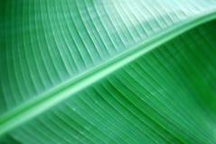 Banana palm. Texture of banana leaf close up Stock Photography