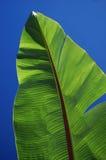 Banana Palm Leaf. Leaf against clear blue sky Royalty Free Stock Image