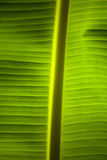 Banana palm leaf Stock Photos