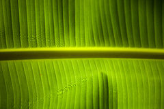 Banana palm leaf Stock Image