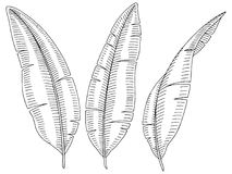 Banana palm leaf graphic black white isolated sketch illustration Royalty Free Stock Photo
