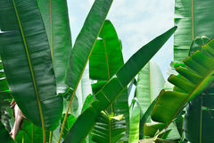 Banana palm leaves Stock Images