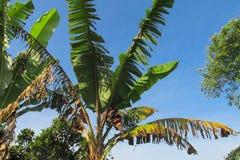 Banana palm leaves Royalty Free Stock Photos