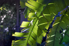 Banana palm leaves Stock Photography