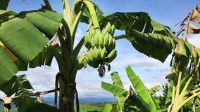 Banana palm tree stock video