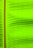 banana palm tree green leaf Stock Photography