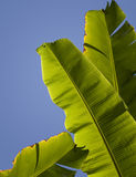 Banana palm tree leaves Stock Image