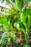 Banana palm tree on the trakking route in Paul valley on Santo Antao, Cape Verde.  Stock Image