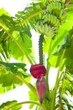 Banana palm tree at tropical plantation. India Royalty Free Stock Photo
