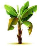 Banana palm tree Stock Images