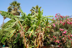 Banana and palm trees in the garden of the Bahia Palace Royalty Free Stock Photography