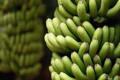Free Banana Palms Plantation,bunches Of Green Bananas On A Branch Of Banana Palm Stock Photos - 125216023