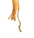 Banana peel is pendent Royalty Free Stock Photos