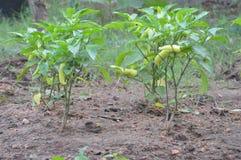 Banana Pepper plant stock photos