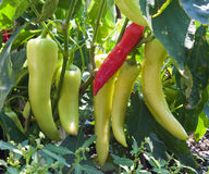 Banana Pepper Plant. With red and green peppers Stock Photography