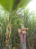 Banana pequena da flor da banana Fotos de Stock