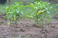 Banana pieprzu roślina zdjęcia stock