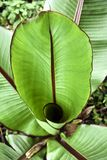 Banana Plant Stock Images