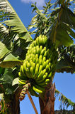 Banana plant Stock Photography