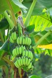 Banana plant Royalty Free Stock Photos