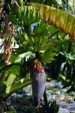 Banana plant Stock Photo