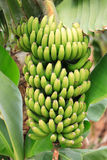 Banana plant. With green leaves Royalty Free Stock Image