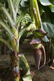 Banana plant Stock Photos