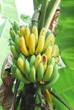 Banana plant. Background style image Stock Photography