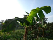Banana, Kampala, Uganda. A banana plant at the backyard, kampala, uganda stock images