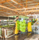 Banana plant. Bananas being sorted in plantation factory Royalty Free Stock Photo