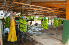 Banana plant. Bananas being sorted in plantation factory Stock Photography